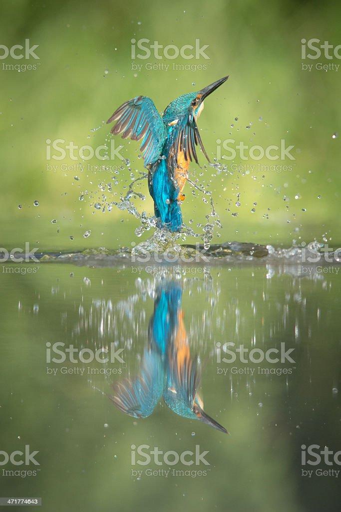 Male Kingfisher royalty-free stock photo