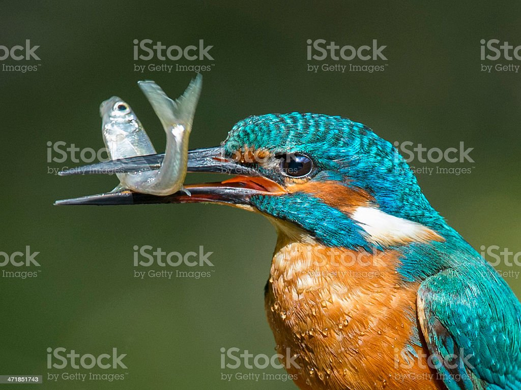 Male Kingfisher with Minnow stock photo