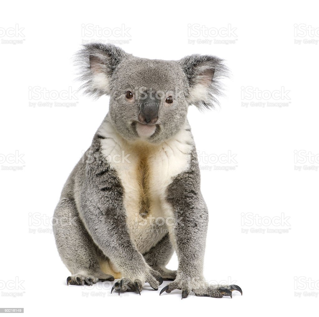 Male koala bear portrait in white background stock photo
