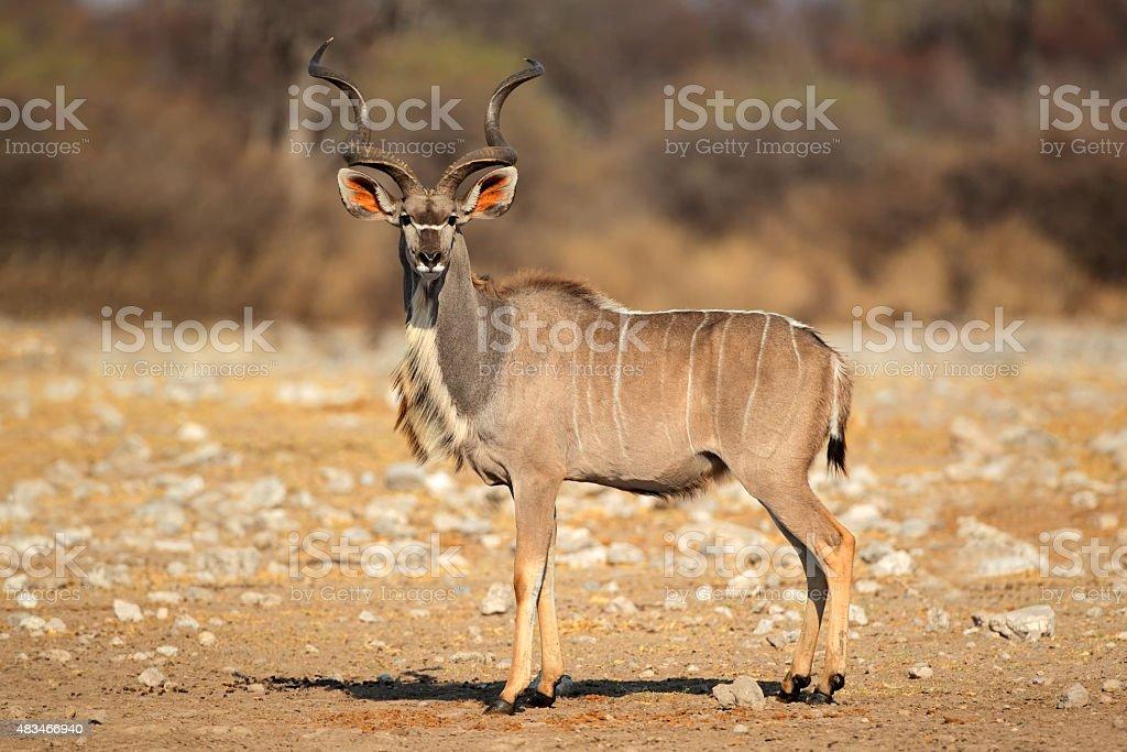 Male kudu antelope stock photo