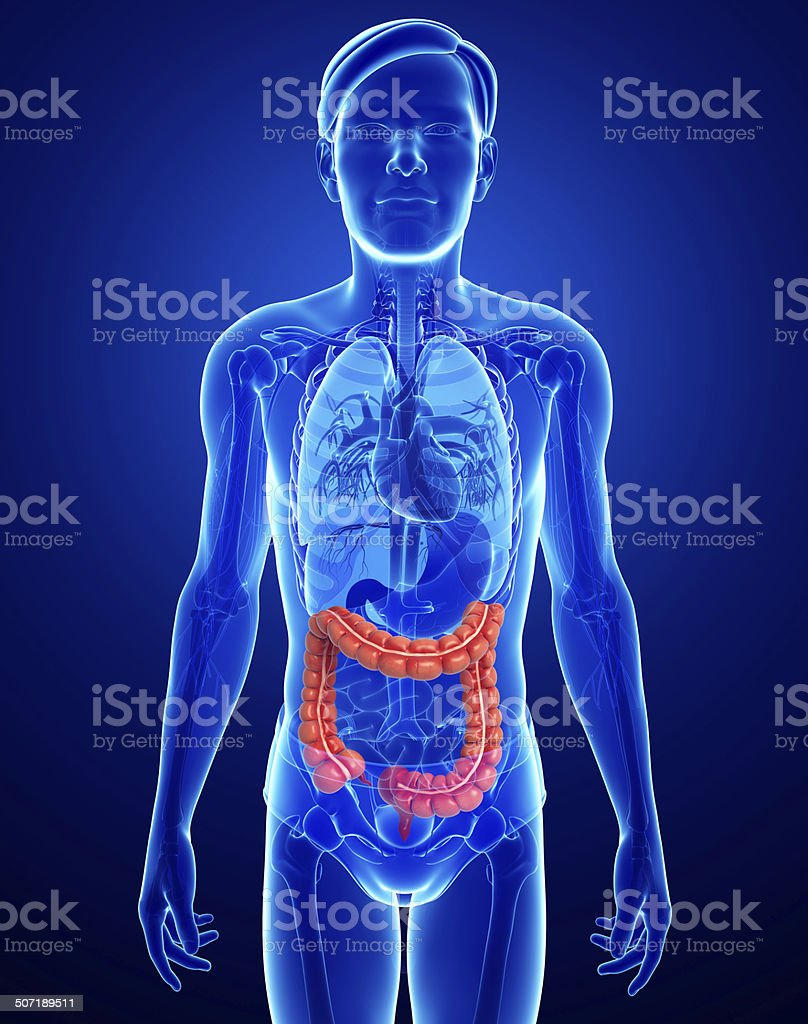 Male large intestine anatomy stock photo