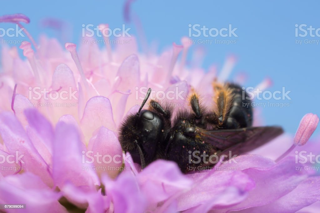 Male large shaggy-bee, Panurgus banksianus on field scabious stock photo