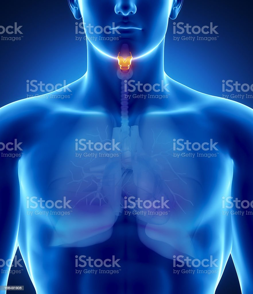 Male larynx anatomy stock photo