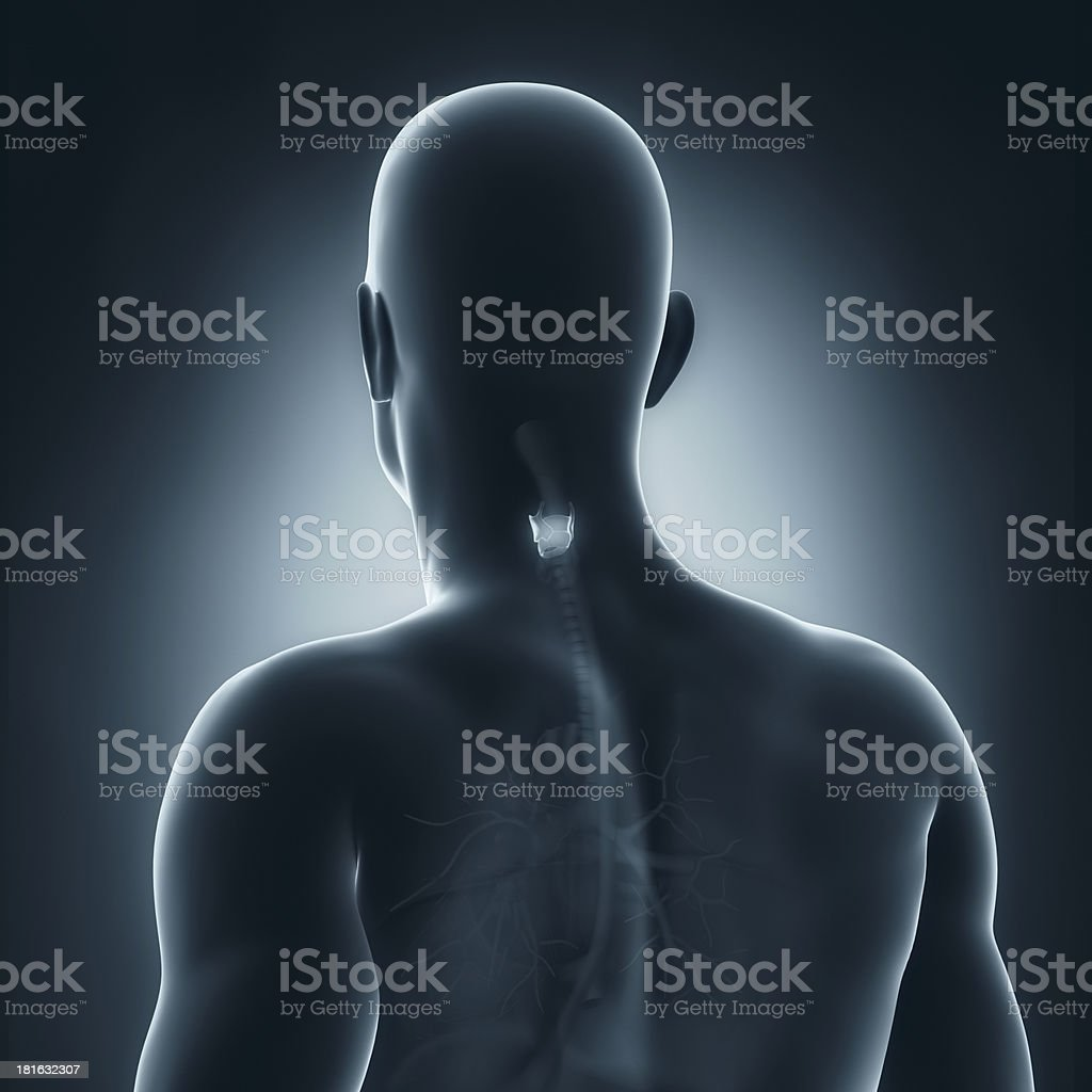 Male larynx anatomy posterior view royalty-free stock photo