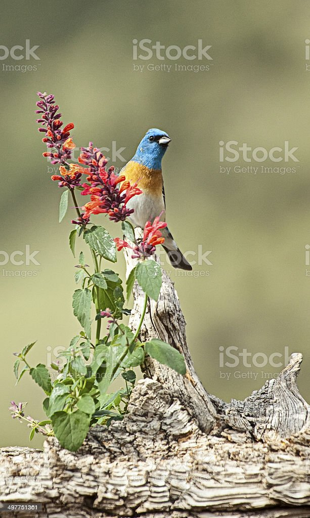Male Lazuli Bunting and Flower royalty-free stock photo