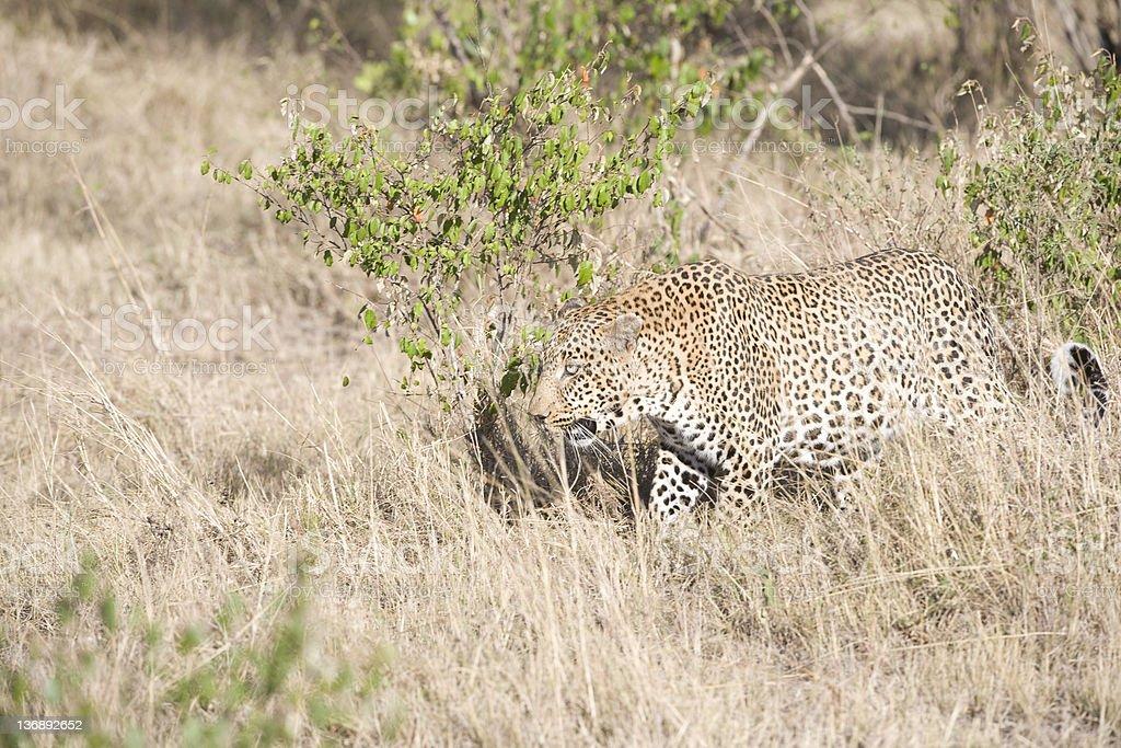 Homme léopard du Masaï Mara photo libre de droits