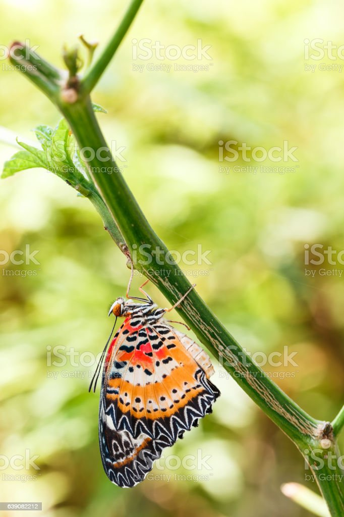 Male Leopard lacewing (Cethosia cyane euanthes) butterfly hangin stock photo