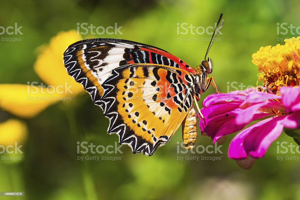 Male leopard lacewing butterfly stock photo