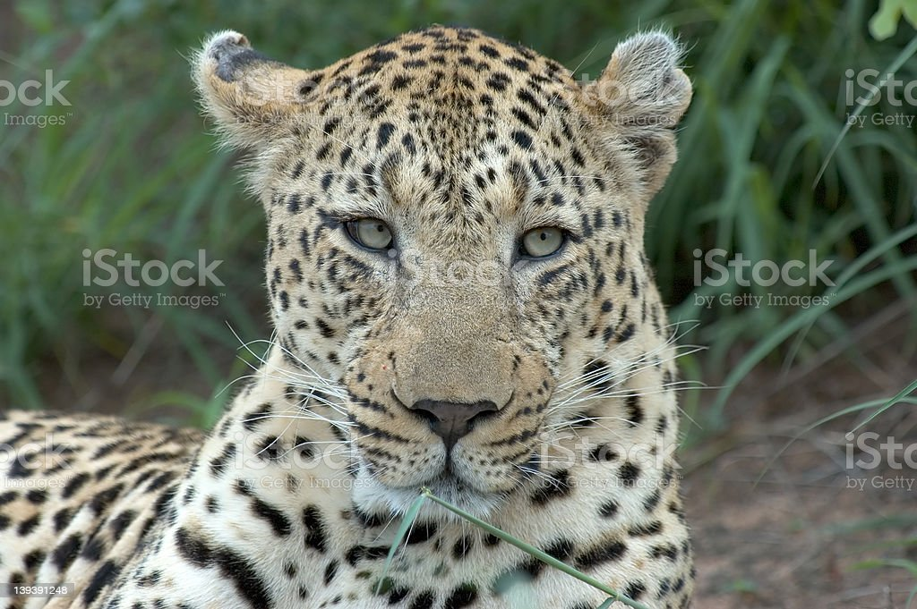 Male Leopard royalty-free stock photo