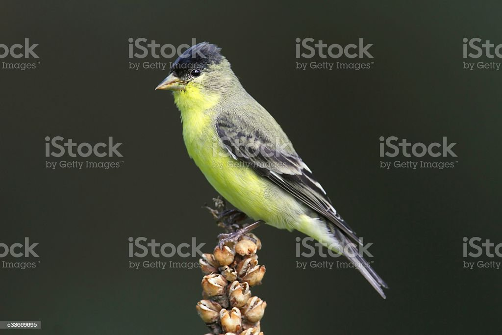 Male Lesser Goldfinch (Carduelis psaltria) stock photo