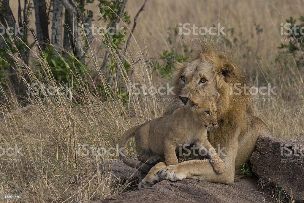 Male Lion et de la cub du Masaï Mara photo libre de droits