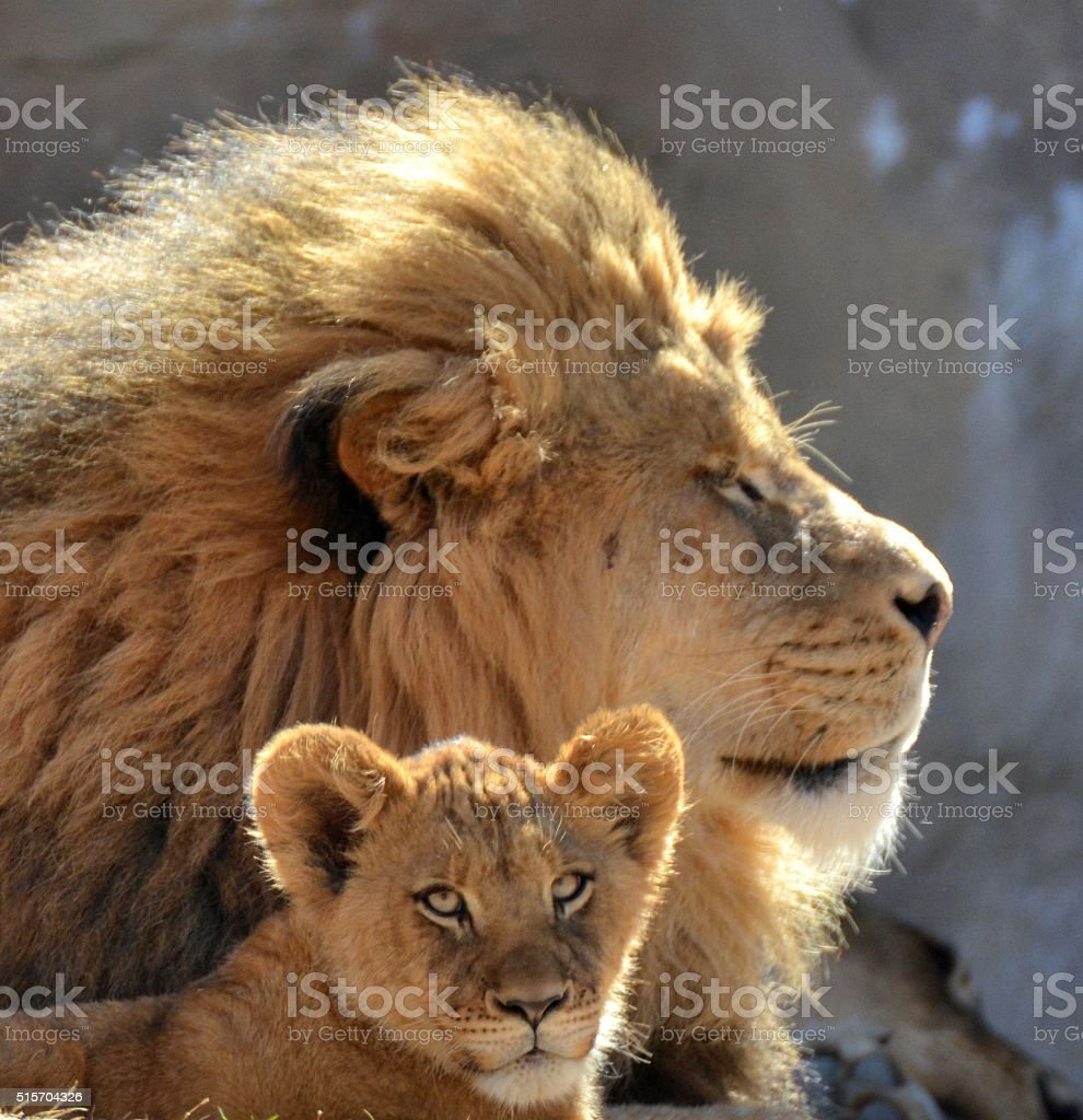 Male Lion and Cub. stock photo