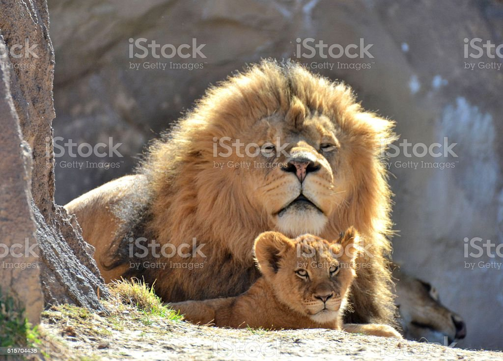 Male Lion and Cub stock photo