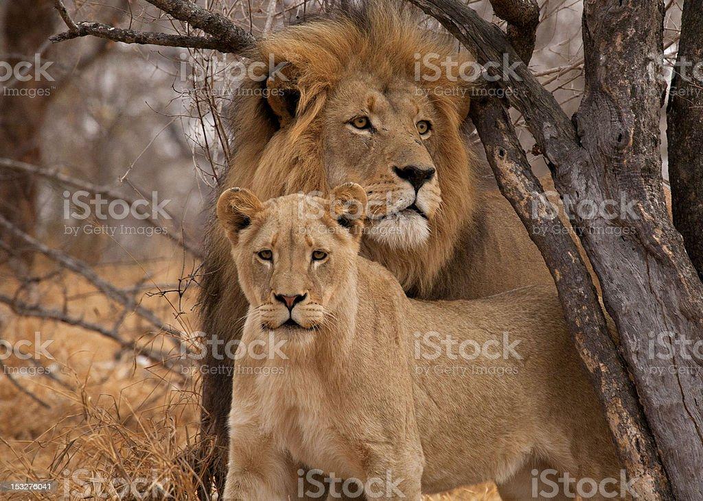 Male Lion  (Panthera leo) and Lioness stock photo