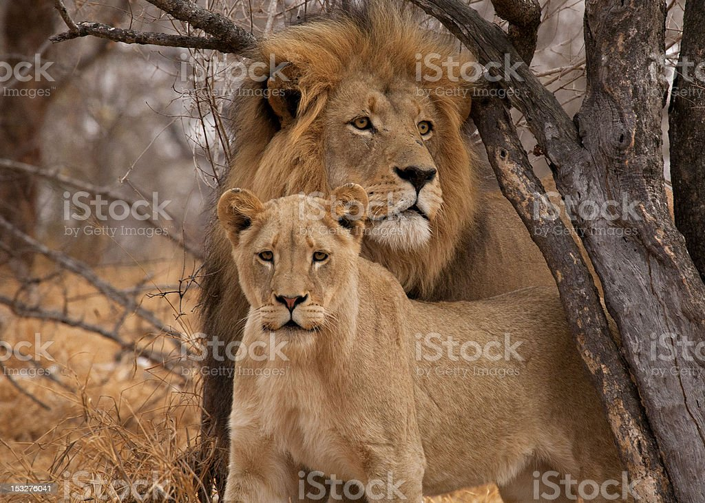 Male Lion  (Panthera leo) and Lioness stock photo