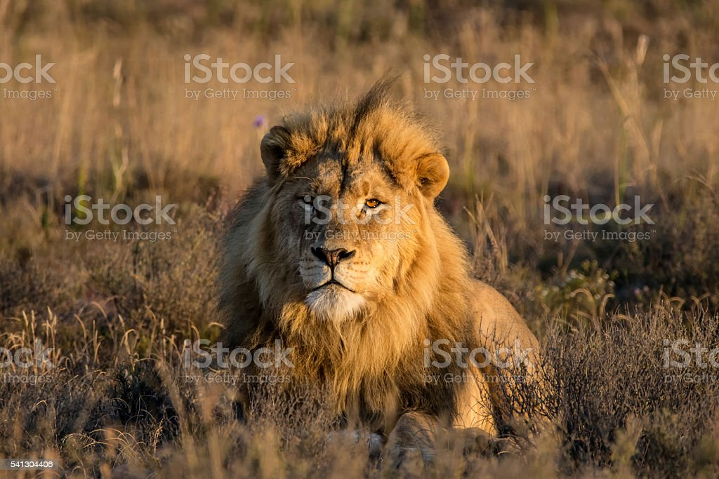 Male Lion At Sunrise stock photo