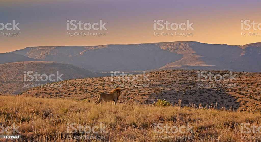 Male Lion At Sunrise stock photo