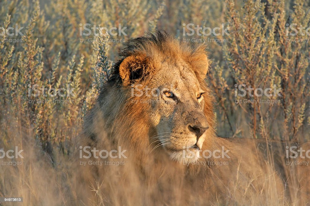 Male Lion at Sunset royalty-free stock photo
