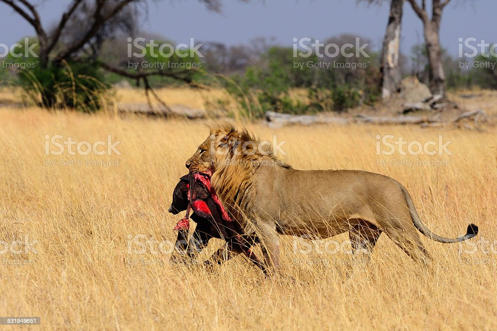 Male lion carrying a baby elephant carcass stock photo