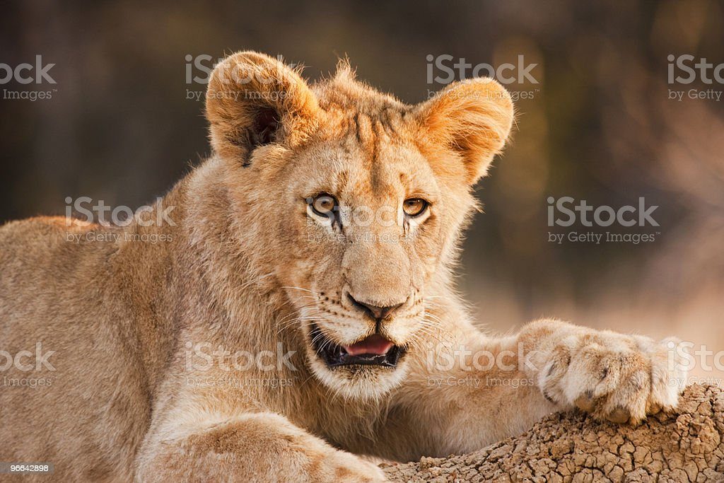 Male Lion Cub At Rest royalty-free stock photo