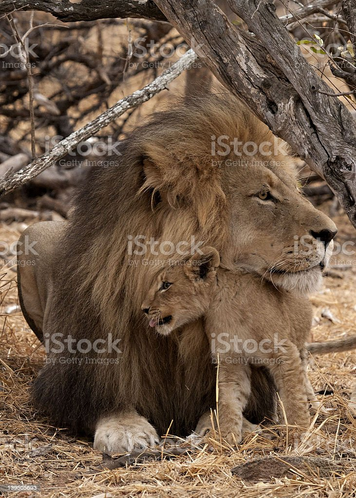 male lion , cub, Kruger National Park , South Africa. stock photo