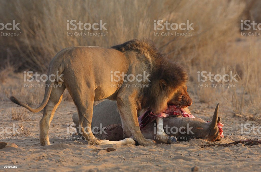 Male lion eating on a kill royalty-free stock photo