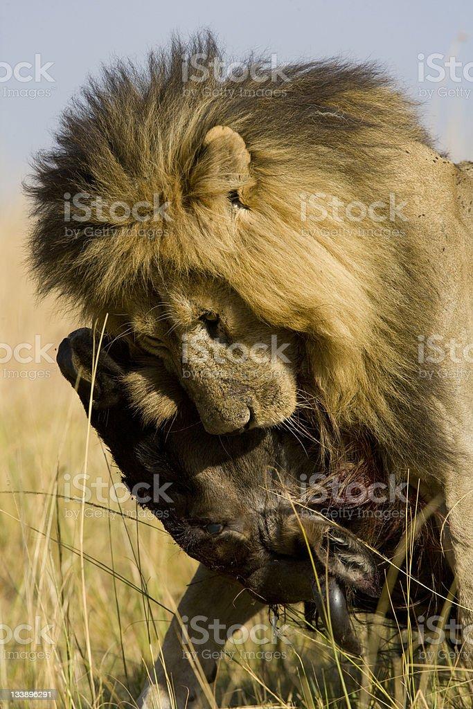 Male Lion déboucher sur une Gnou du Masaï Mara photo libre de droits