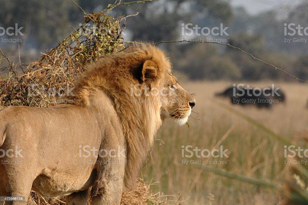 Male Lion hunting buffalo stock photo
