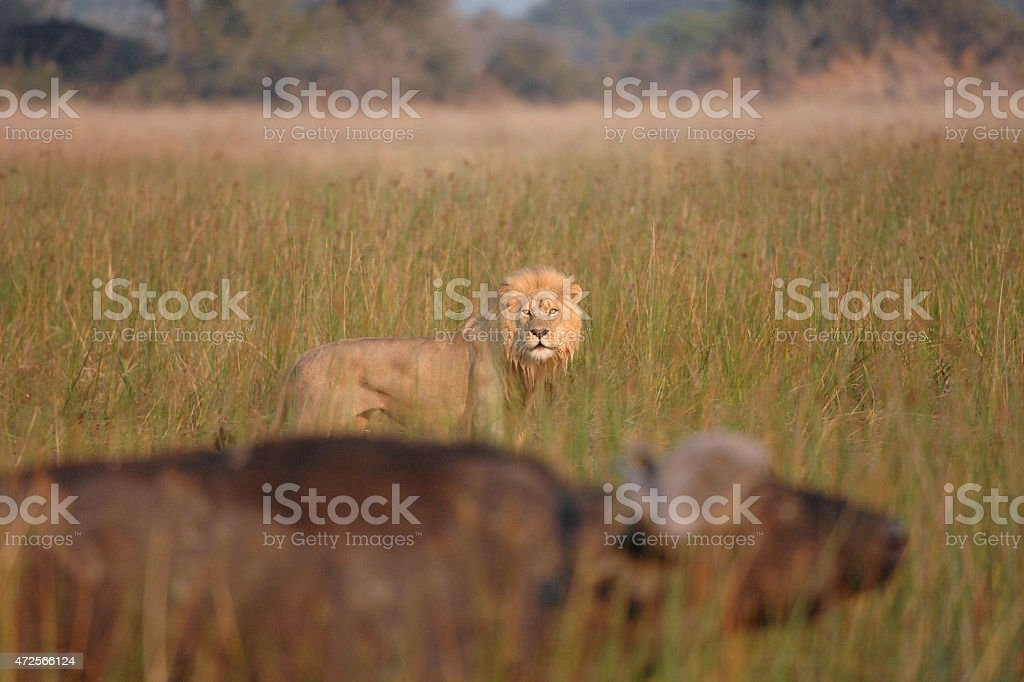 Male Lion hunting in water looking directly at buffalo stock photo