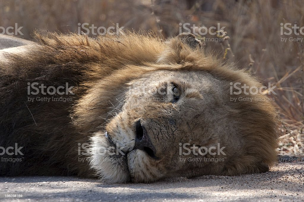 Male lion in Kruger Park South Africa royalty-free stock photo