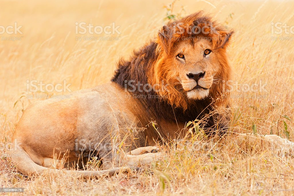Male lion in Masai Mara stock photo
