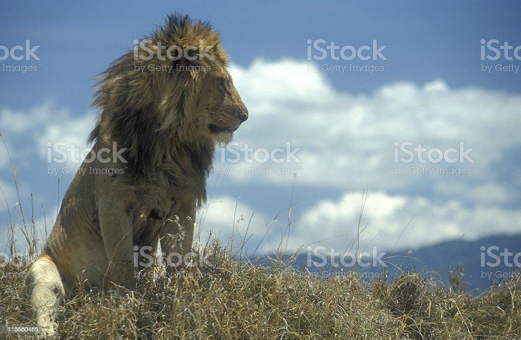 Male Lion in Ngorongoro Crater, Tanzania royalty-free stock photo