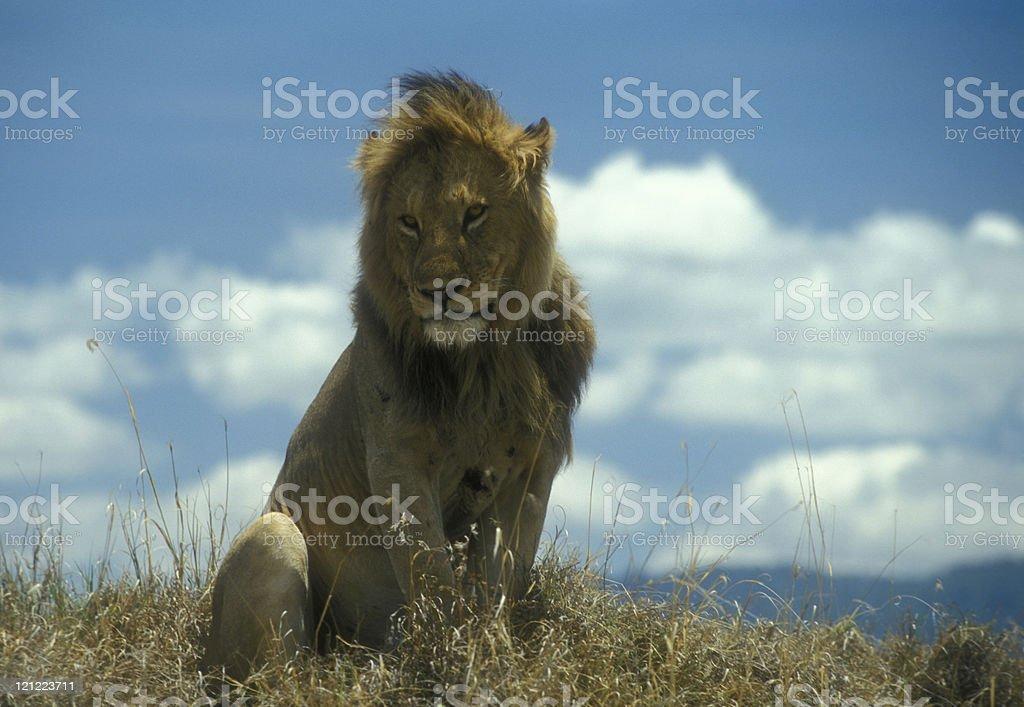 Male Lion in Ngorongoro Crater, Tanzania (4) royalty-free stock photo