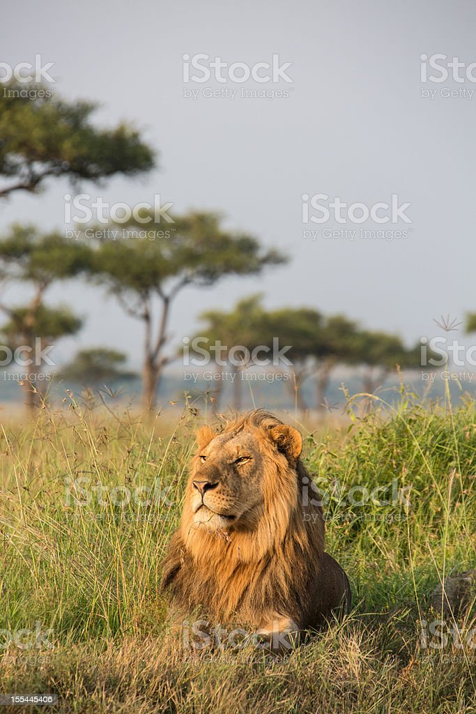 Male Lion in the Masai Mara Kenia royalty-free stock photo