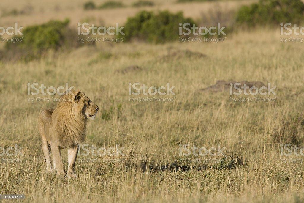 Male Lion du Masaï Mara photo libre de droits