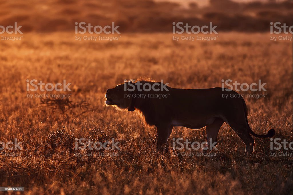 Male Lion in the Morning royalty-free stock photo