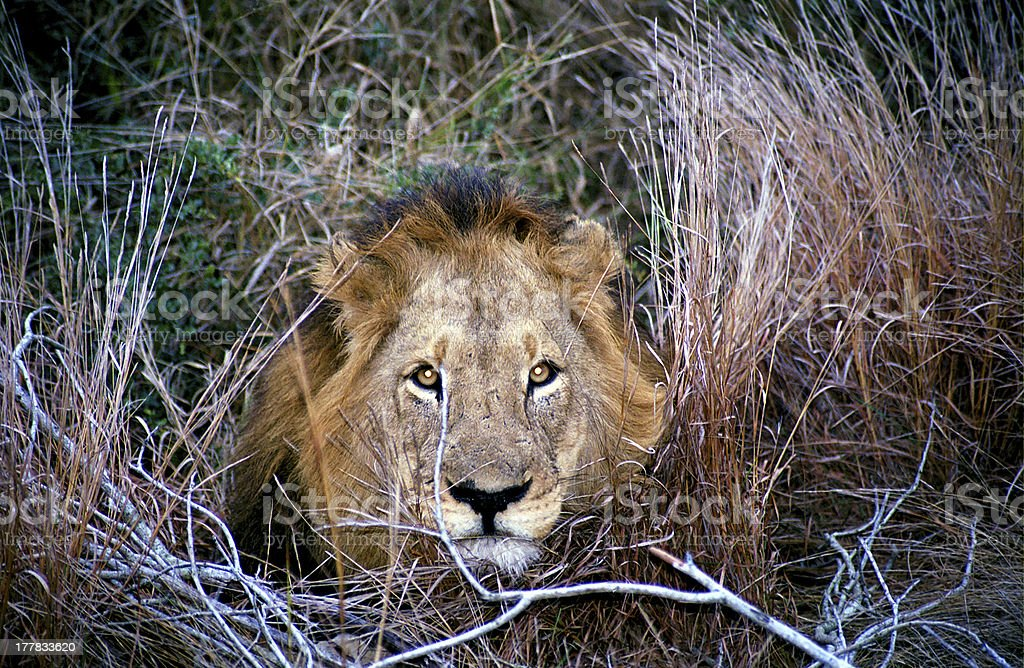 Male lion, Kruger National Park, South African Republic stock photo