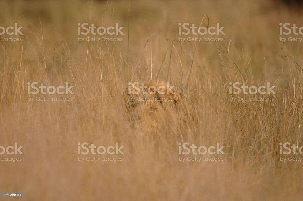 Male Lion looking directly at viewer hiding in long grass stock photo