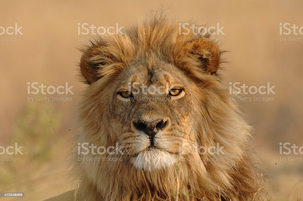 Male Lion looking directly at viewer stock photo