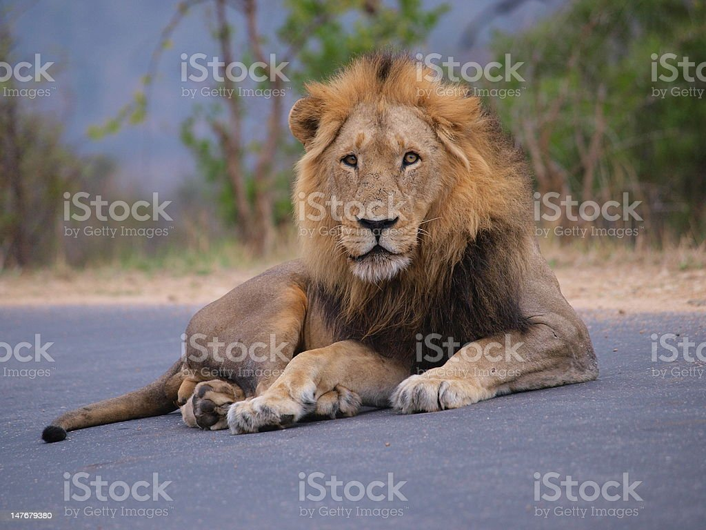 Male lion lying on the road stock photo