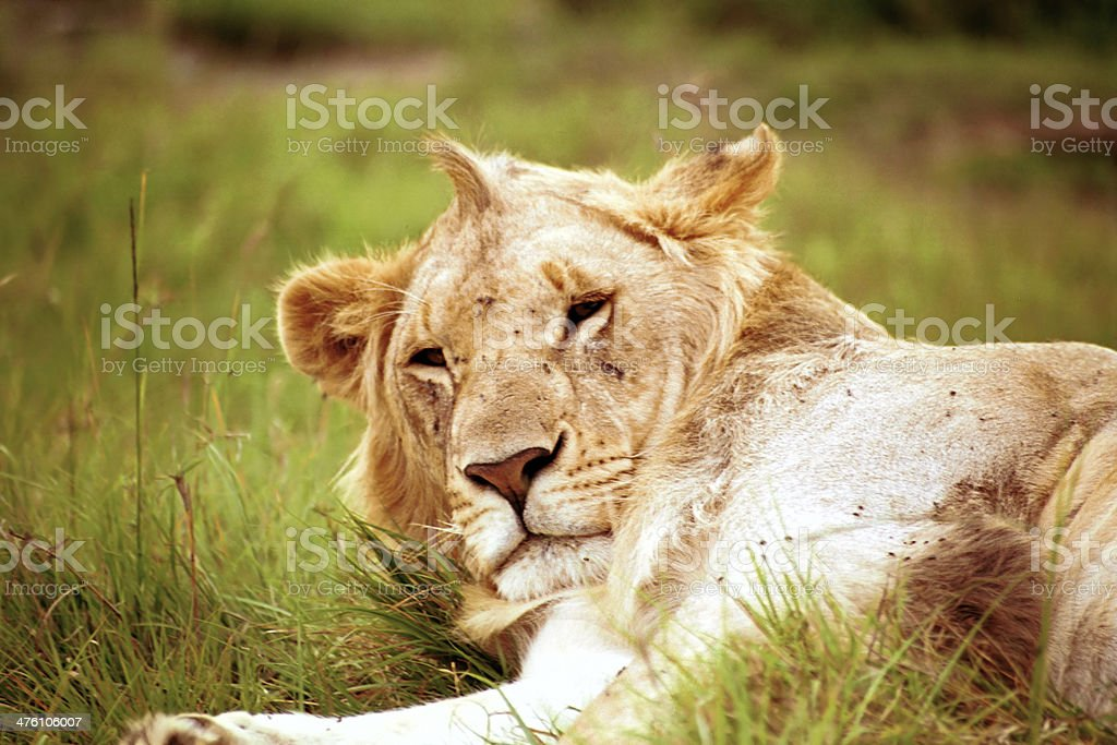 Male lion, Masaai Mara, Kenya stock photo