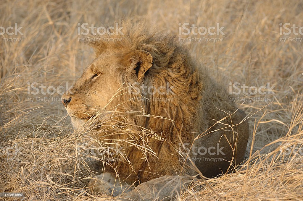 Male Lion No.4 royalty-free stock photo