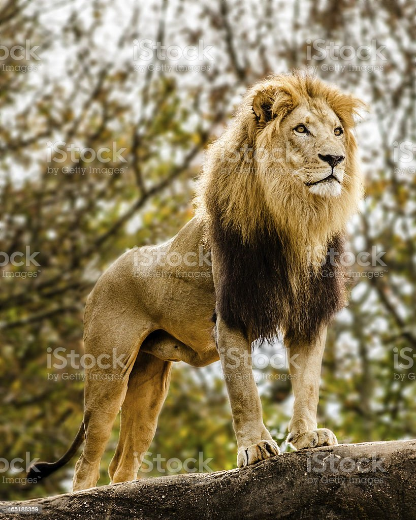 Male lion on rocky outcrop stock photo