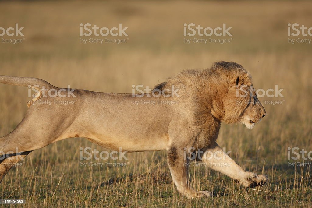 Male Lion on the charge stock photo