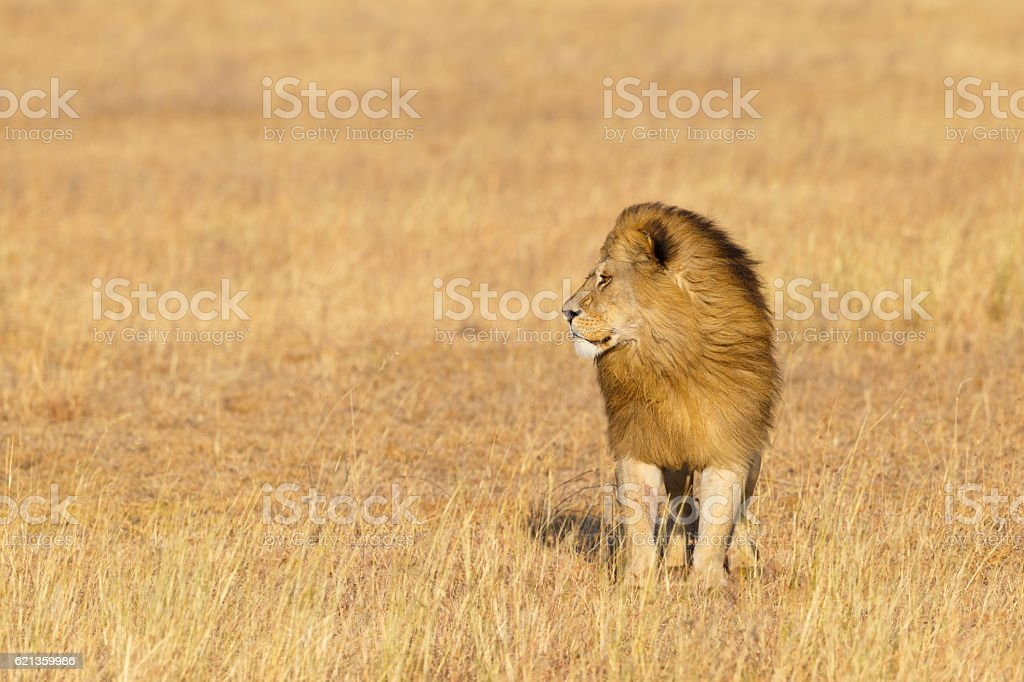 Male Lion on the Golden Serengeti Savanna, Tanzania Africa stock photo
