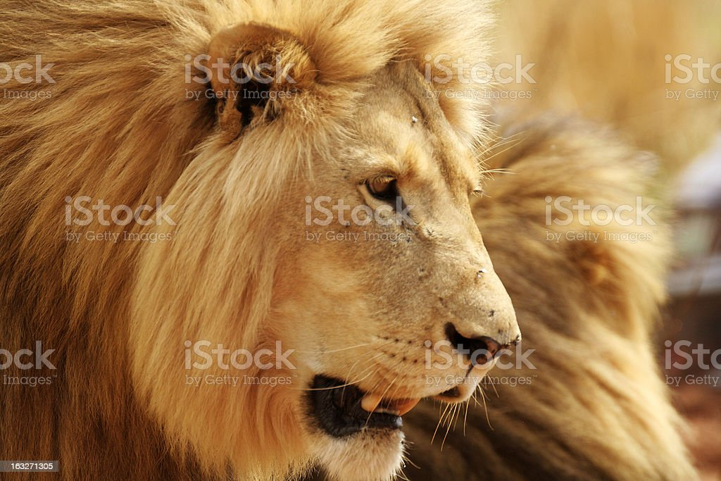 Male Lion Panting royalty-free stock photo