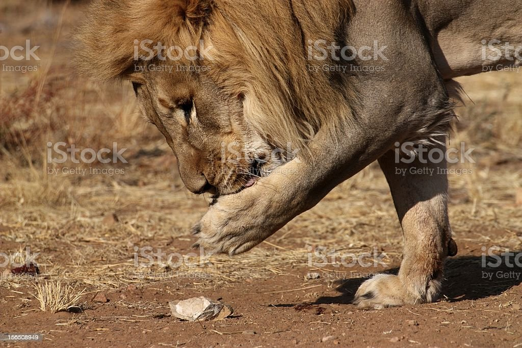 Male lion picking up a piece of meat stock photo