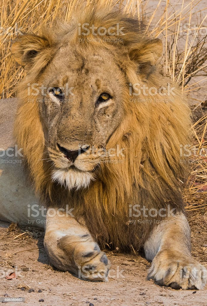 Male lion royalty-free stock photo