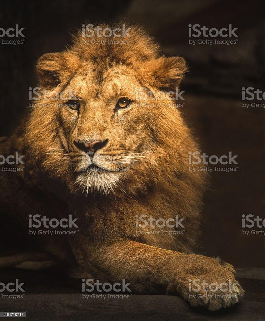 Male Lion Portrait stock photo