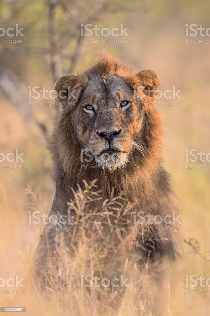 Male Lion Portrait stock photo